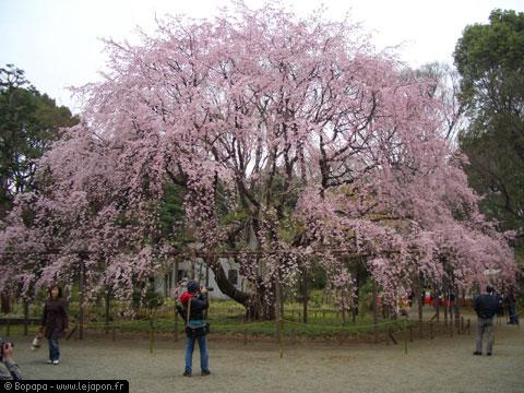 Sakuras au Parc de Rikugien