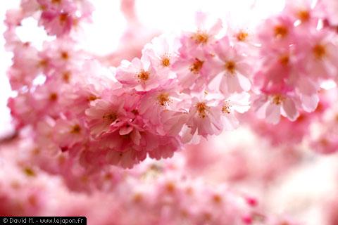 Sakuras en fleurs - Cerisiers du Japon en fleurs