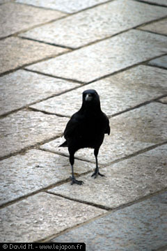 Corbeau au Japon