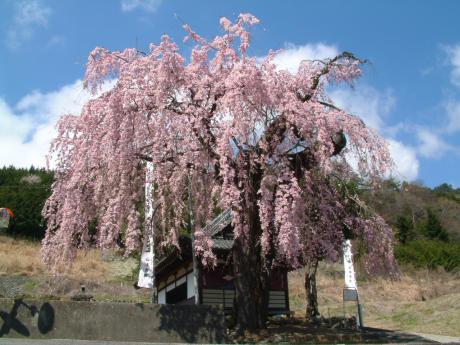Sakura, cerisier de 2000 ans... ou plutôt 200... dans la ville de Yamanashi