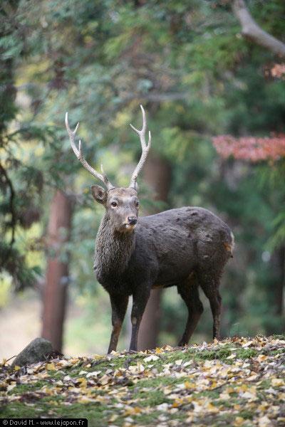 Cerf à Nara - Japon
