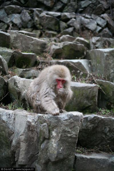 Singe sauvage dans la montagne près de Nagano à Shinbu - Japon