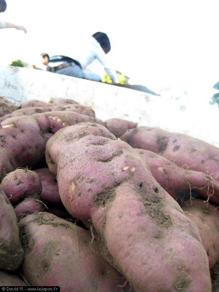 Ramassage de patates douces au Japon
