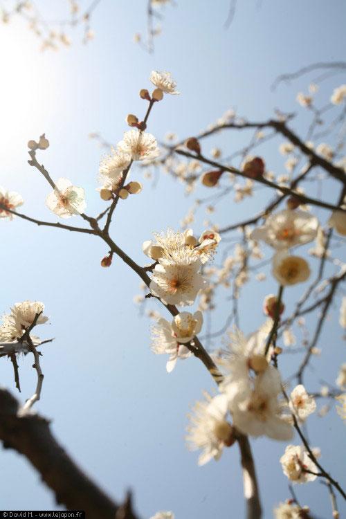 Les pruniers japonais (Ume) sont en fleurs