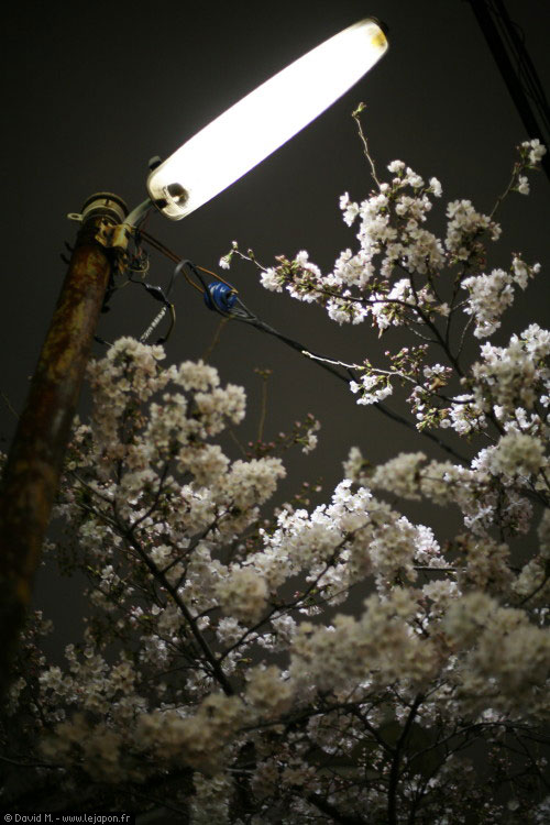 Sakura by night