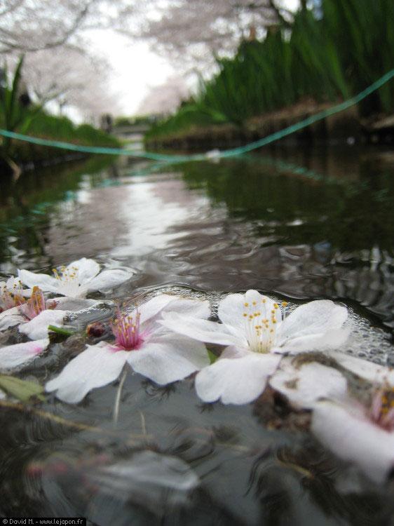 Sakura sur l'eau