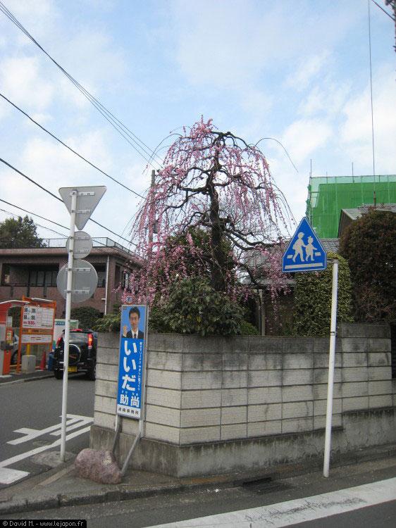 Prunier du Japon au printemps