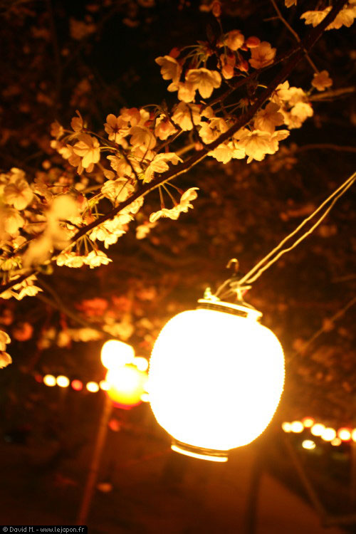 Ohanami, les Sakuras nocturnes