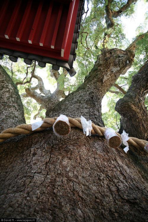 Grand arbre dans le sanctuaire Zentsuji, Kagawa, Japon