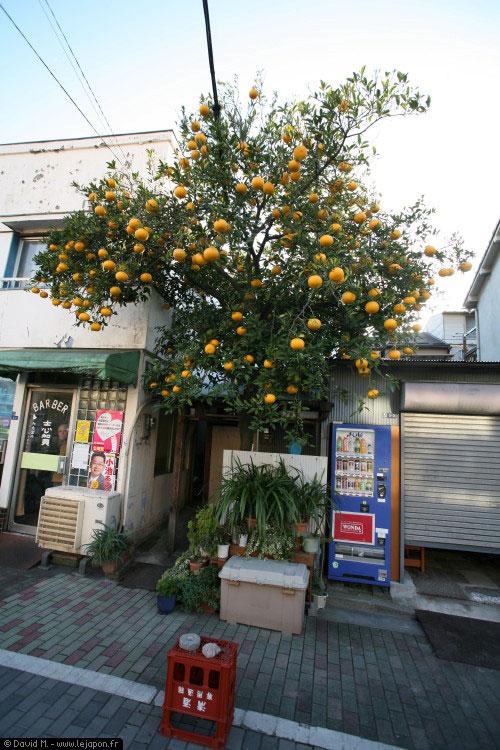 Arbre fruitier en plein Tokyo