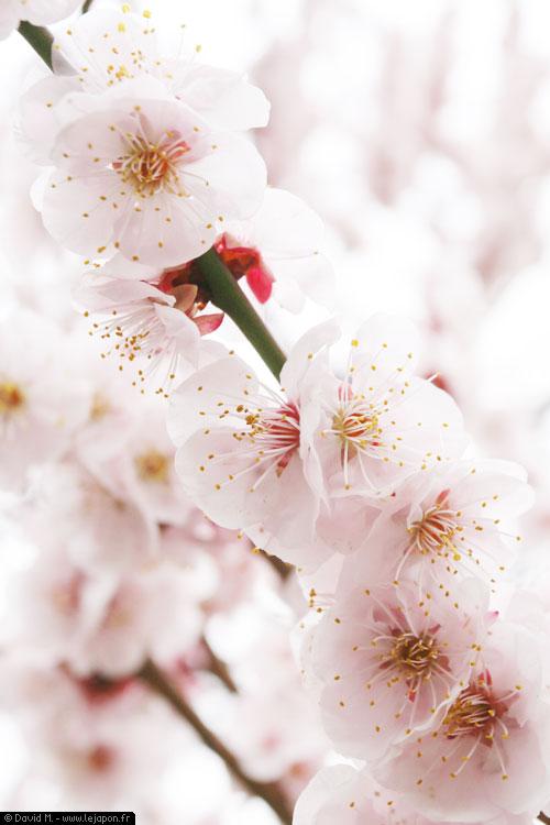 Ume, pruniers en fleurs au sanctuaire Yushima Tenji à Tokyo - Japon