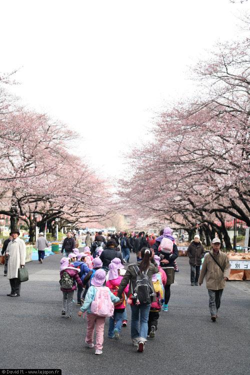 Petits écoliers en balade sous les Sakuras dans le parc de Ueno à Tokyo