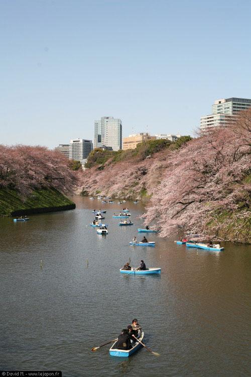 Balade en barque sous les sakuras, cerisier en fleurs des douves du Palais Impérial à Tokyo