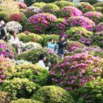azalea-sanctuaire-nezu-tokyo_IMG_1625