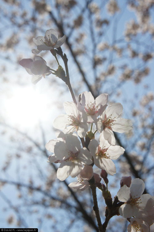 Ohanami au parc Yoyogi