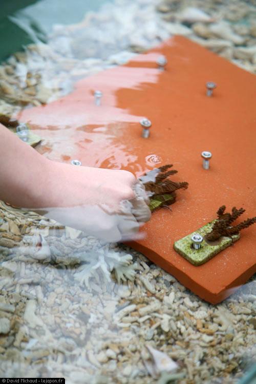 Sango pour replanter le corail d'Okinawa