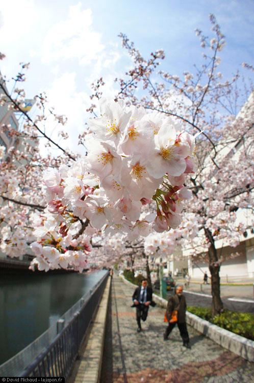 Yokohama Sakura