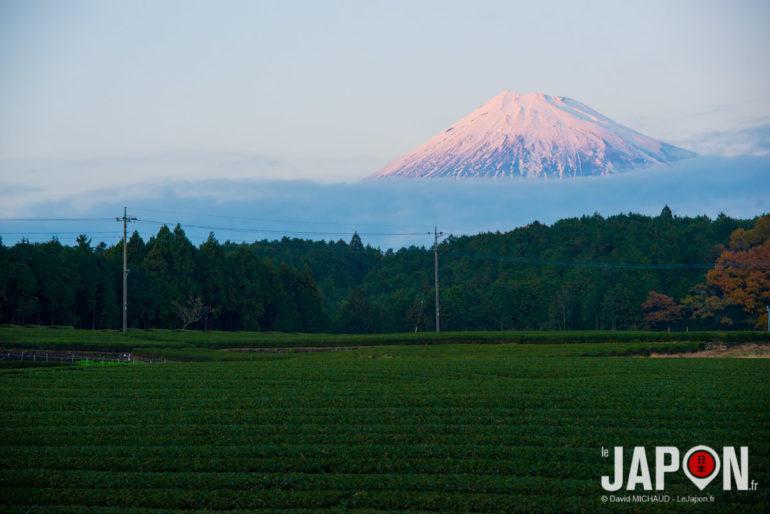 Champs de thé et Fuji san