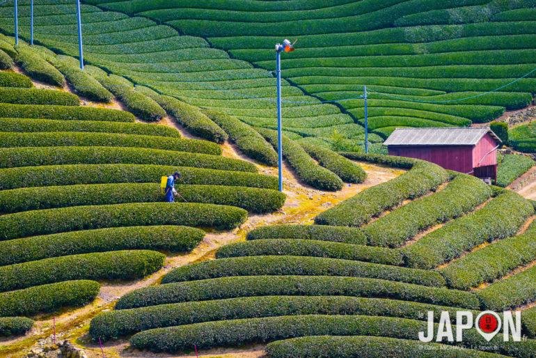 Plantations de thé vert à Uji dans le petit village de Wazuka